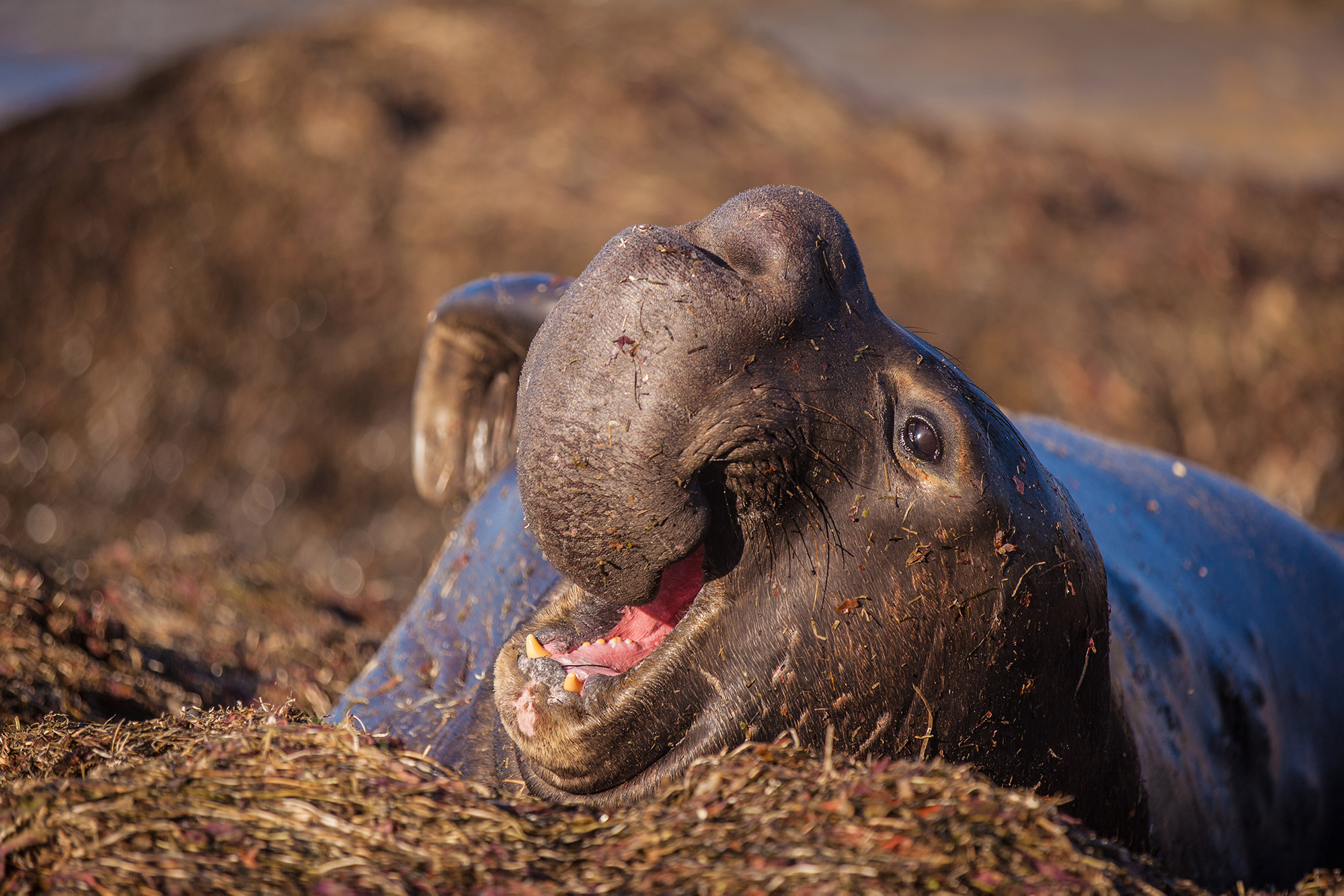 Adult Male Elephant Seal - Photo by Kevin Henney