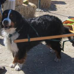 Eighteenth Annual Bernese Mountain Dog Day Visit Half Moon Bay